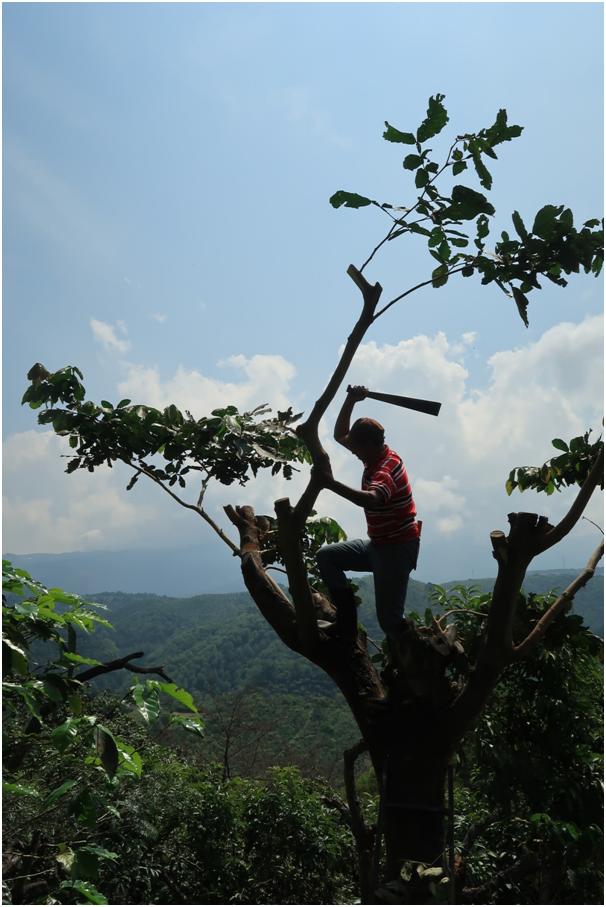 regiony kawowe, kawowiec, farma, Gwatemala