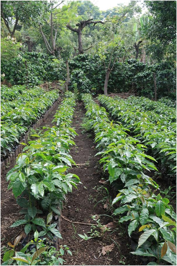 kawowiec, regiony kawowe, Gwatemala