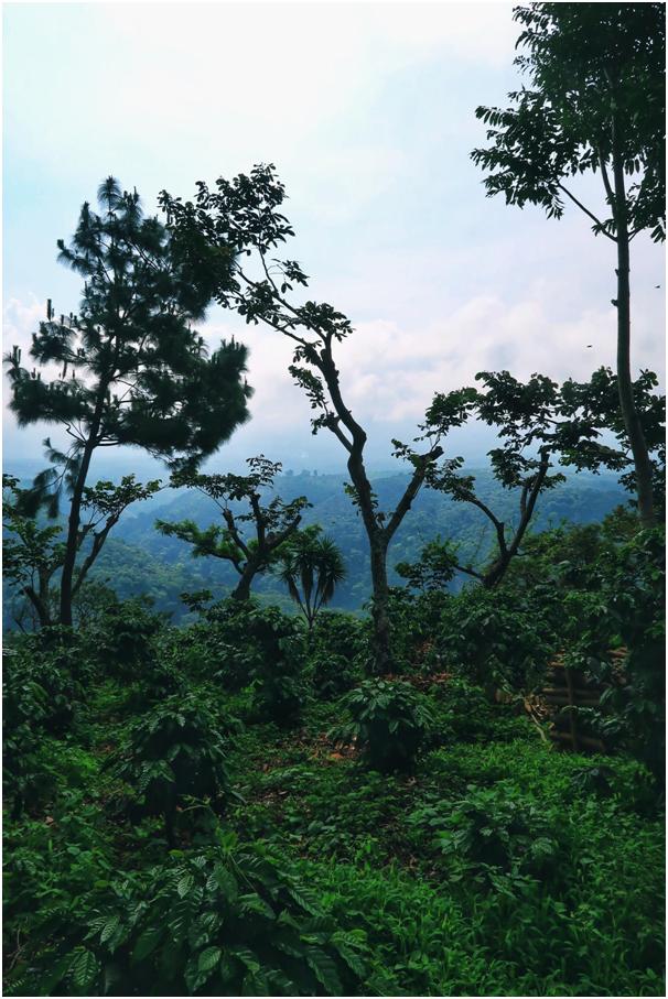 Gwatemala, farma, regiony kawowe,