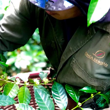Savage Coffees Panama Volcan Finca Deborah Caturra Natural FIL 200g, kawa ziarnista (outlet)