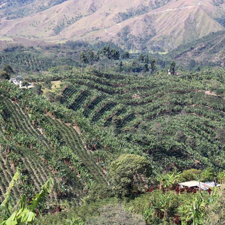 COFFEE PLANT - Kolumbia Finca La Perla