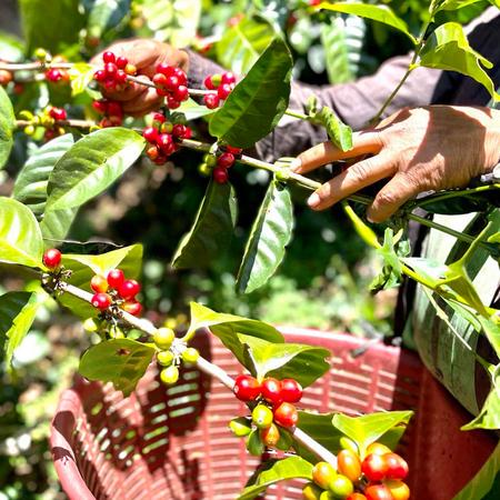 Savage Coffees Panama Chirqui Elixer Carbonic Macertation Washed FIL 200g, kawa ziarnista (outlet)